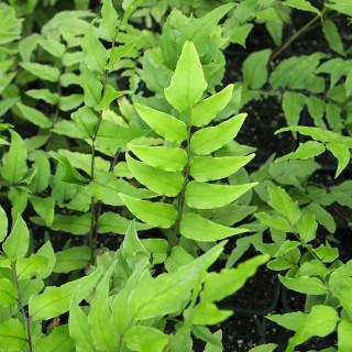 Циртомиум Форчуна  (Cyrtomium fortunei)