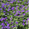 Герань 'Johnson's Blue' (Geranium 'Johnson's Blue')