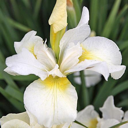 Ирис 'Show Queen' (Iris sib. 'Snow Queen')