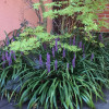 Лириопа мускари (Liriope muscari)