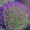 Лаванда узколистная 'Hidcote' (Lavandula angustifolia 'Hidcote')