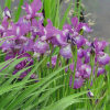Ирис 'Sparkling Rose' (Iris sib. 'Sparkling Rose')