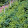 Манжетка мягкая (Alchemilla mollis)