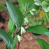 Купена аптечна (Polygonatum odoratum)
