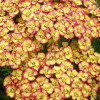 Тысячелистник 'Tricolor' (Achillea mil. 'Tricolor')