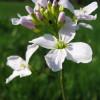 Сердечник луговой (Cardamine pratensis)