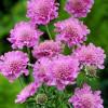 Скабиоза 'Pink Mist' (Scabiosa col. 'Pink Mist')