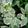 Сныть (Aegopodium podagraria 'Variegata')