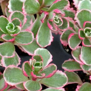 Седум/Очиток ложный 'Tricolor' (Sedum spurium 'Tricolor')