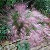 Мюленбергия волосоподобная (Muhlenbergia capillaris)