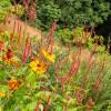 Персикария свечевидная 'Orange Field' (Persicaria amplex.'Orange Field')