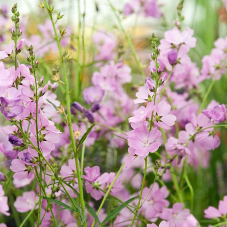Сидальция 'Rose Bouquet' (Sidalcea  'Rose Bouquet')