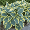 Хоста 'First Frost' (Hosta 'First Frost')