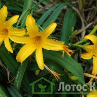 Лилейник видовой (Hemerocallis)