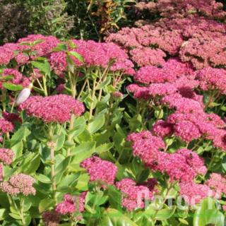 Седум/Очиток садовый 'Herbstfreude' (Sedum 'Herbstfreude')