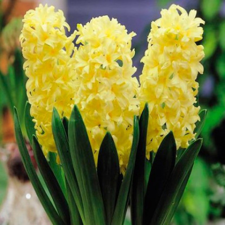 Гиацинт GIPSY PRINCESS (Hyacinthus GIPSY PRINCESS) в упак.набор 3 шт.