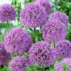 Аллиум GLADIATOR (Allium GLADIATOR) в упак.1шт.