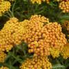 Тысячелистник гибридный 'Feuerland' (Achillea 'Feuerland')
