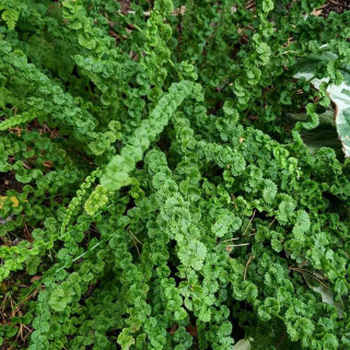 Кочедыжник женский 'Frizelliae' (Athyrium f.-f. 'Frizelliae')
