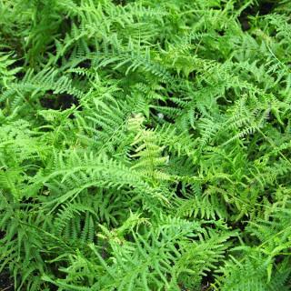 Кочедыжник женский  'Victoriae' (Athyrium f.-f. 'Victoriae')