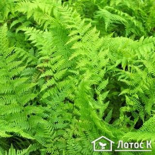 Кочедыжник женский 'Rotstiel' (Athyrium f.-f. 'Rotstiel')