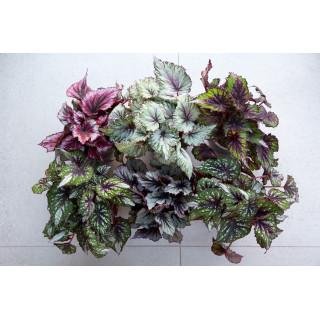 Бегония в ассортименте (Begonia)