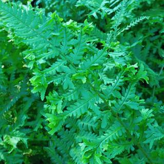 Щитовник мужской 'Cristata' (Dryopteris f.-m. 'Cristata')