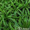 Хлорофитум хохлатый вар. (Chlorophytum comosum Variegata)