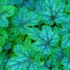 Гейхерелла 'Тапестри' (Heucherella 'Tapestry')