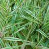 Двукисточник тростниковый 'Триколор' (Phalaroides arundinacea 'Tricolor')