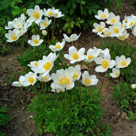 Анемона лесная (Anemone sylvestris)