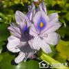 Водяной гиацинт (Eichhornia)