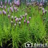 Лиатрис спиката (Liatris spicata)