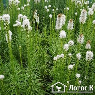 Лиатрис колосистая 'Alba' (Liatris floristan 'Alba')