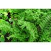 Щитовник мужской 'Crispa Cristata' (Dryopteris f.-m. 'Crispa Cristata')