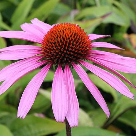 Эхинацея пурпурная 'Rubinstern'  (Echinacea purp. 'Rubinstern')