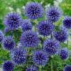 "Мордовник ""Blue globe"" (Echinops bannaticus  'Blue Globe' )"
