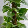 Epipremnum aureum (Эпипренум золотистый)