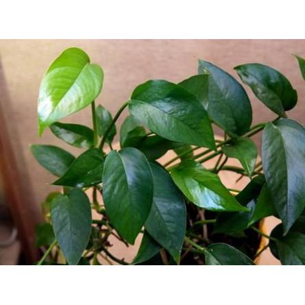 Epipremnum silvaticum (Эпипремнум лесной)