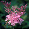 Filipendula rubra 'Venusta Magnifica' (Лабазник красный 'Venusta Magnifica')