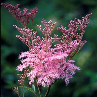 Лабазник красный 'Venusta Magnifica' (Filipendula rubra 'Venusta Magnifica')