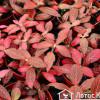 Фитония (Fitonia red)