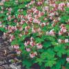 Герань крупнокорневищная  'Ingwersen's Var.' (Geranium macr.  'Ingwersen's Var.')