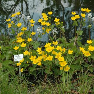 Калужниця болотна 'Auenwald' (Caltha palustris 'Auenwald')