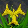 Ирис болотный (псевдоаировый) (Iris pseudacorus)