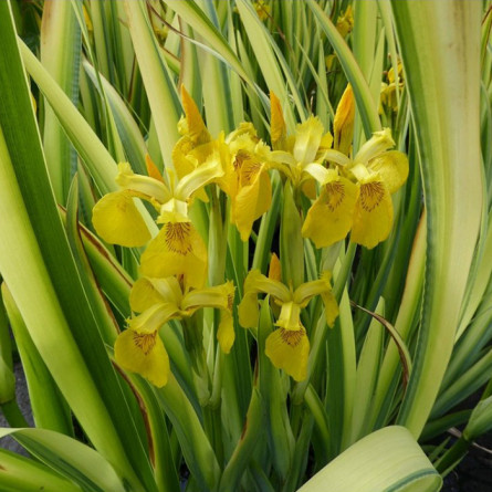 Ирис псевдоаировый 'Variegata' (Iris pseudacorus 'Variegata')