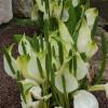 Лизихитон камчатский (Lysichiton camtschatcensis)