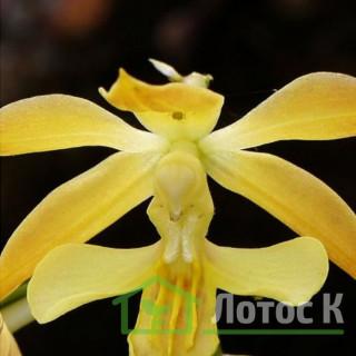 Каланта Зибольта (Calanthe sieboldii)