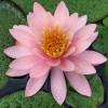 Нимфея 'Pink Opal' (Nymphaea 'Pink Opal')