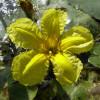 Болотноцветник щитолистый (Nymphoides peltata)